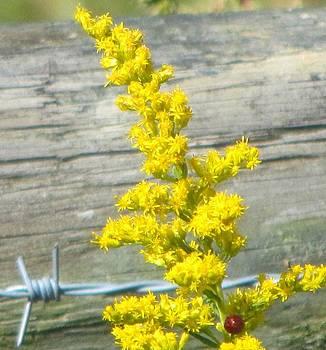 Goldenrod Aster by Christine Bradley