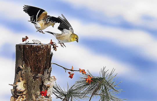 Randall Branham - Goldfiches flying over lichen stump
