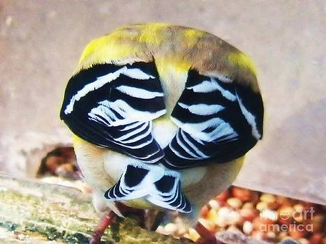 Judy Via-Wolff - Goldfinch feathers
