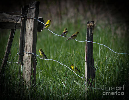 Goldfinch Gathering by Douglas Stucky
