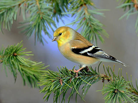 Goldfinch in a Fir Tree by Rodney Campbell