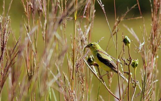 Rosanne Jordan - Goldfinch in Autumn Grasses