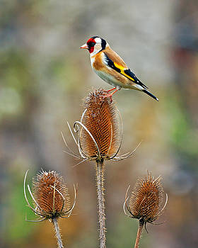 Goldfinch on Teasel head. by Paul Scoullar
