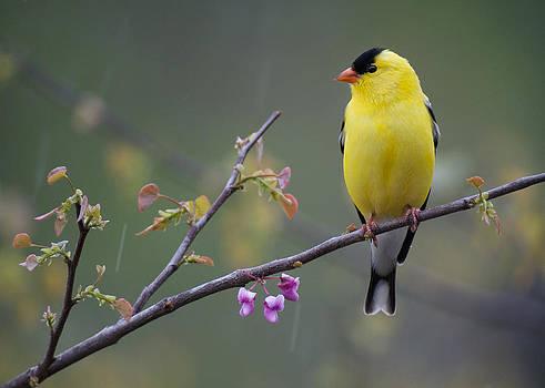 Goldfinch Rain by Diane Porter