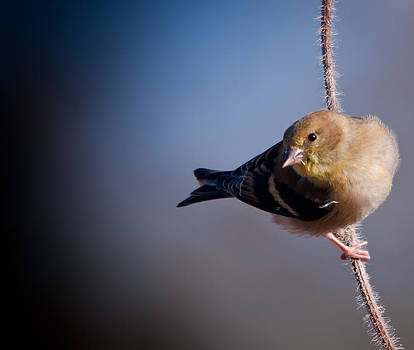 Goldfinch Visit by Dave Weth