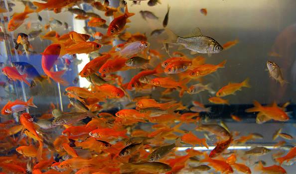 Goldfish by Diane Lent