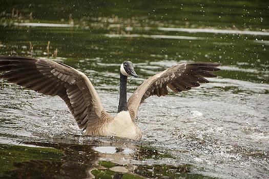 Karol Livote - Goose Action