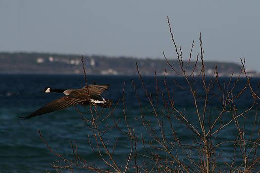 Goose by Brady D Hebert