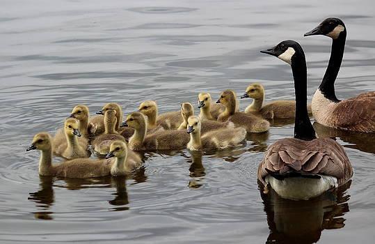 Rosanne Jordan - Goose Family Outing
