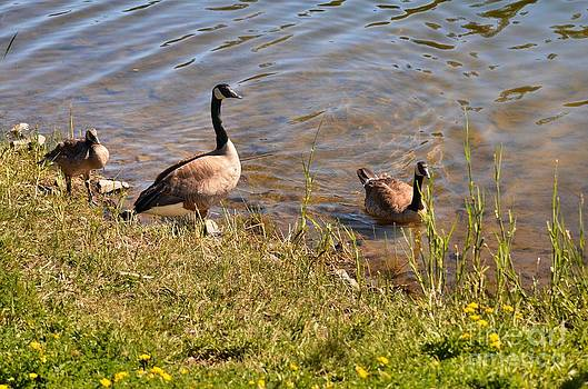 Goose Family by Shauna Fackler
