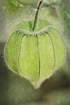 Gooseberry Pod by Debbie Howden