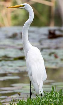 Sabrina L Ryan - Gorgeous n Tall Great White Egret