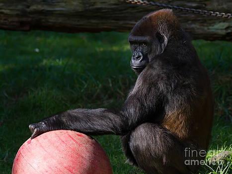 Wingsdomain Art and Photography - Gorilla 7D8977
