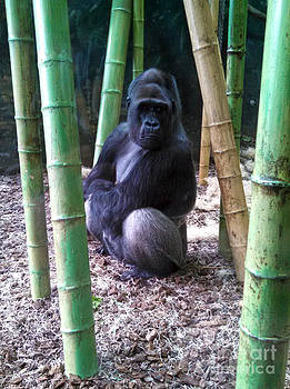 Gregory Dyer - Gorilla Lincoln Park Zoo
