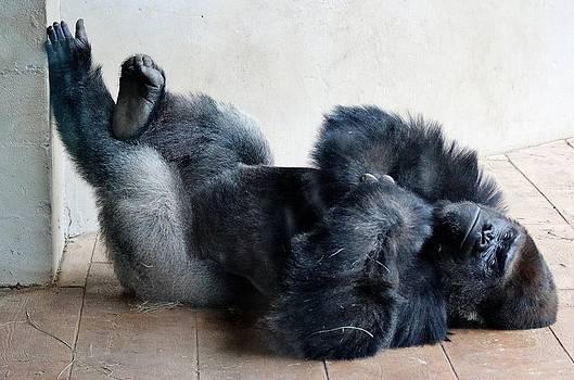 Paulette Thomas - Gorilla looks pretty Comfy