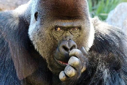 Paulette Thomas - Gorilla Picking His Nose