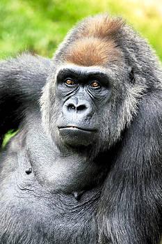 Gorilla pose by Goyo Ambrosio