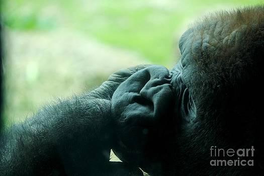 Gorilla Profile by Theresa Willingham
