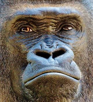 Paulette Thomas - Gorilla Up Close