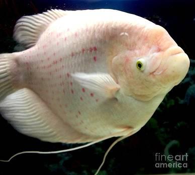 Gail Matthews - Gourami Giant Tropical Fish