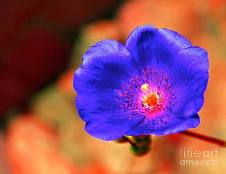 Gwyn Newcombe - Grandiflora Blue