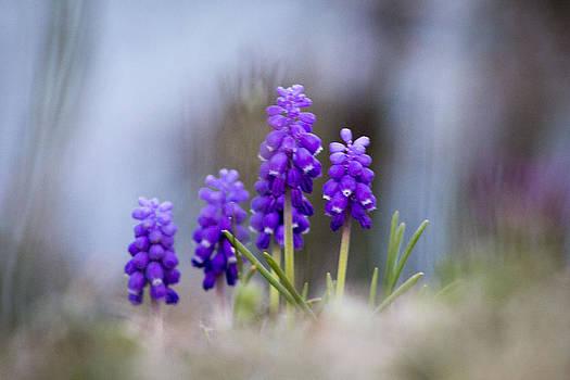 Grape Hyacinth by the River by Teresa Wissen