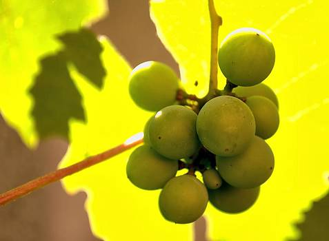 Ion vincent DAnu - Grape in Its Leafs Shadow
