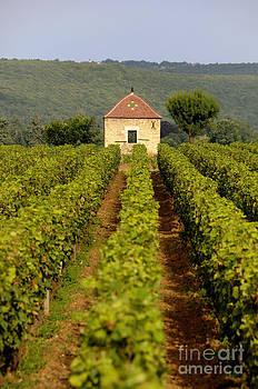 BERNARD JAUBERT - Grapevines. Premier cru vineyard between Pernand Vergelesses and Savigny les Beaune. Burgundy. Franc