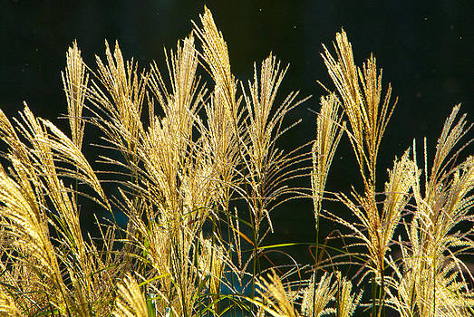 Grasses by Fred L Gardner
