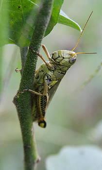 Grasshopper on Vine 2 by Cathy Lindsey