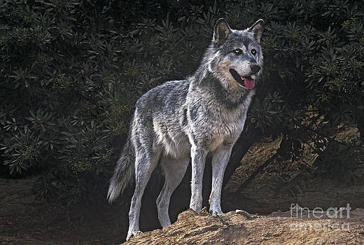 Dave Welling - Gray Wolf on Hillside Endangered Species Wildlife Rescue