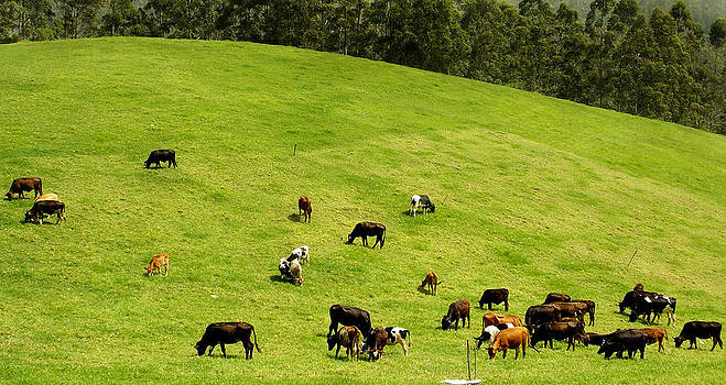 Grazing cows on green mat by Tharun Prabhakar