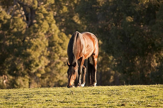 Michelle Wrighton - Grazing Horse at Sunset