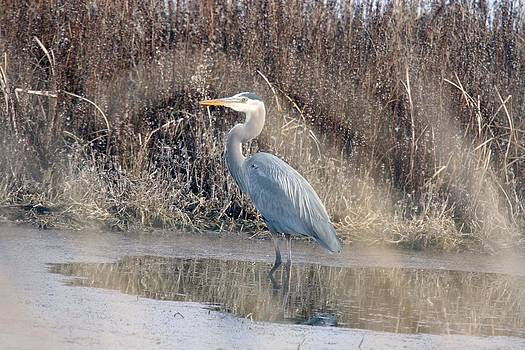 S and S Photo - Great Blue Heron - 0024
