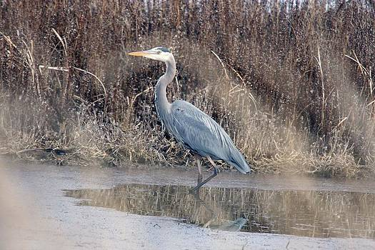 S and S Photo - Great Blue Heron - 0025