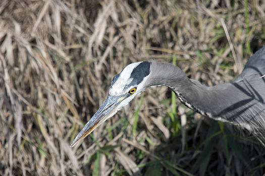 S and S Photo - Great Blue Heron - 0027