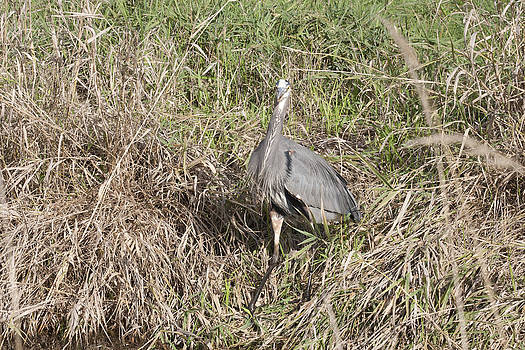S and S Photo - Great Blue Heron - 0030