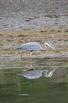 S and S Photo - Great Blue Heron - 0034
