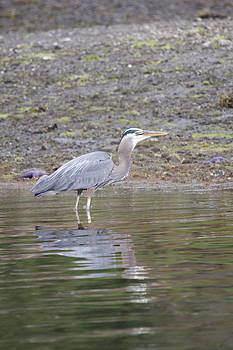 S and S Photo - Great Blue Heron - 0037