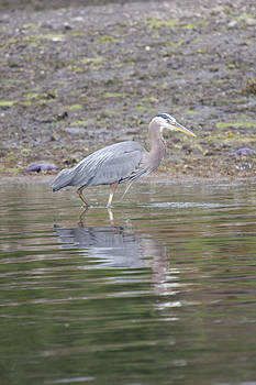S and S Photo - Great Blue Heron - 0038