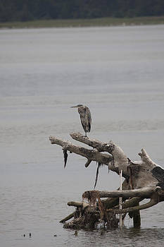 S and S Photo - Great Blue Heron - 0041