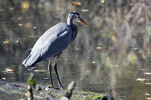 S and S Photo - Great Blue Heron - 0042