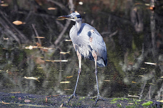S and S Photo - Great Blue Heron - 0044