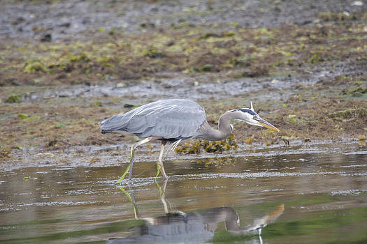 S and S Photo - Great Blue Heron - 0035