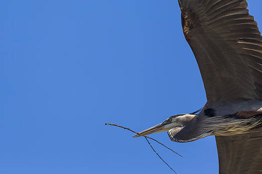 Jack R Perry - Great Blue Heron Close up