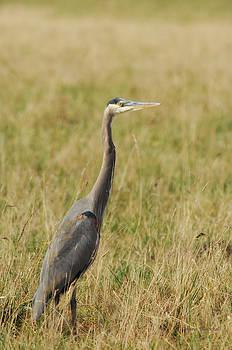 Donna Blackhall - Great Blue Heron