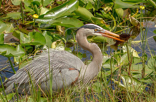 Great Blue Heron by Doug McPherson