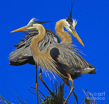 Great Blue Heron Family by Larry Nieland