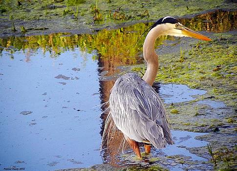 Great Blue Heron Fishing by Palmer Hasty