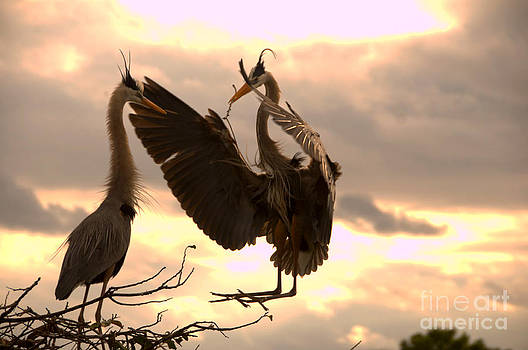 Great Blue Heron Greets Mate with Twig by Jane Axman